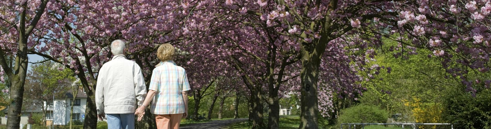 Rear view on a senior couple walking under blooming cherry trees.